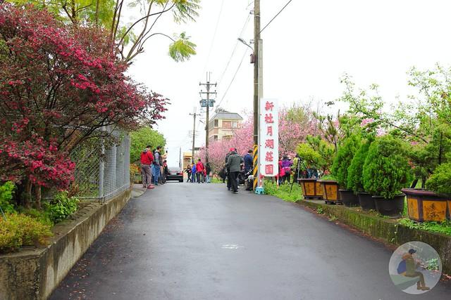 新社櫻花新秘境