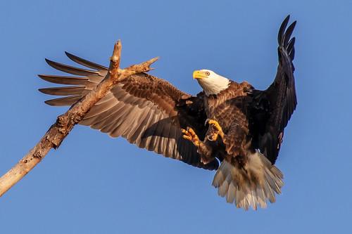 outdoor dennis adair shore nature wildlife 7dm2 7d ii ef100400mm canon florida bird eagle raptor prey
