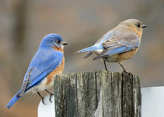 Eastern Bluebird | by 611catbirds, too