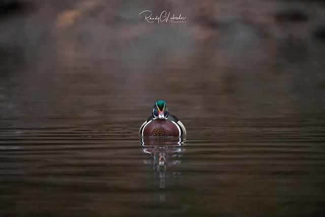 Wood Duck - Aix sponsa | 2020 - 2