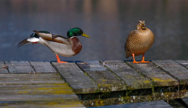 Two ducks ...