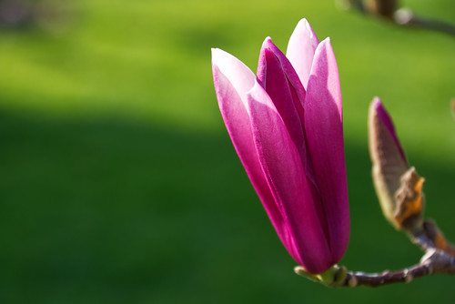 Start of the magnolia blossom time