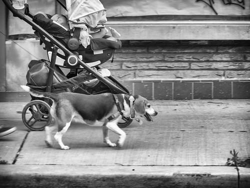 toronto people street dog beagle baby bw monochrome olympus em1markii