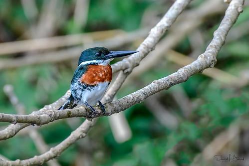 Pygmy Kingfisher Tarcoles River, Costa Rica 2020