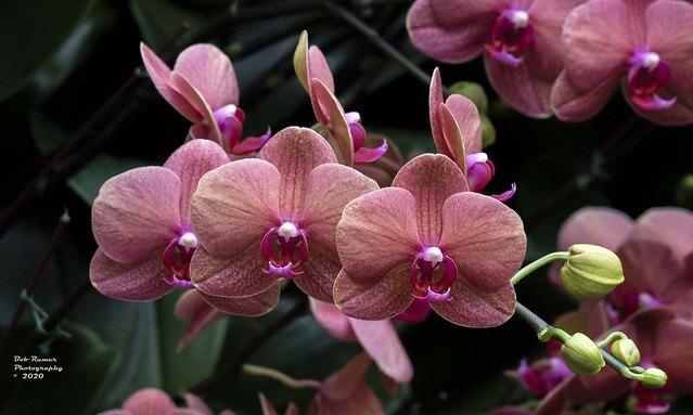 Orchids Salmon.