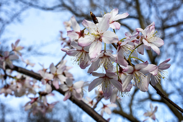 Early Flowering Cherry