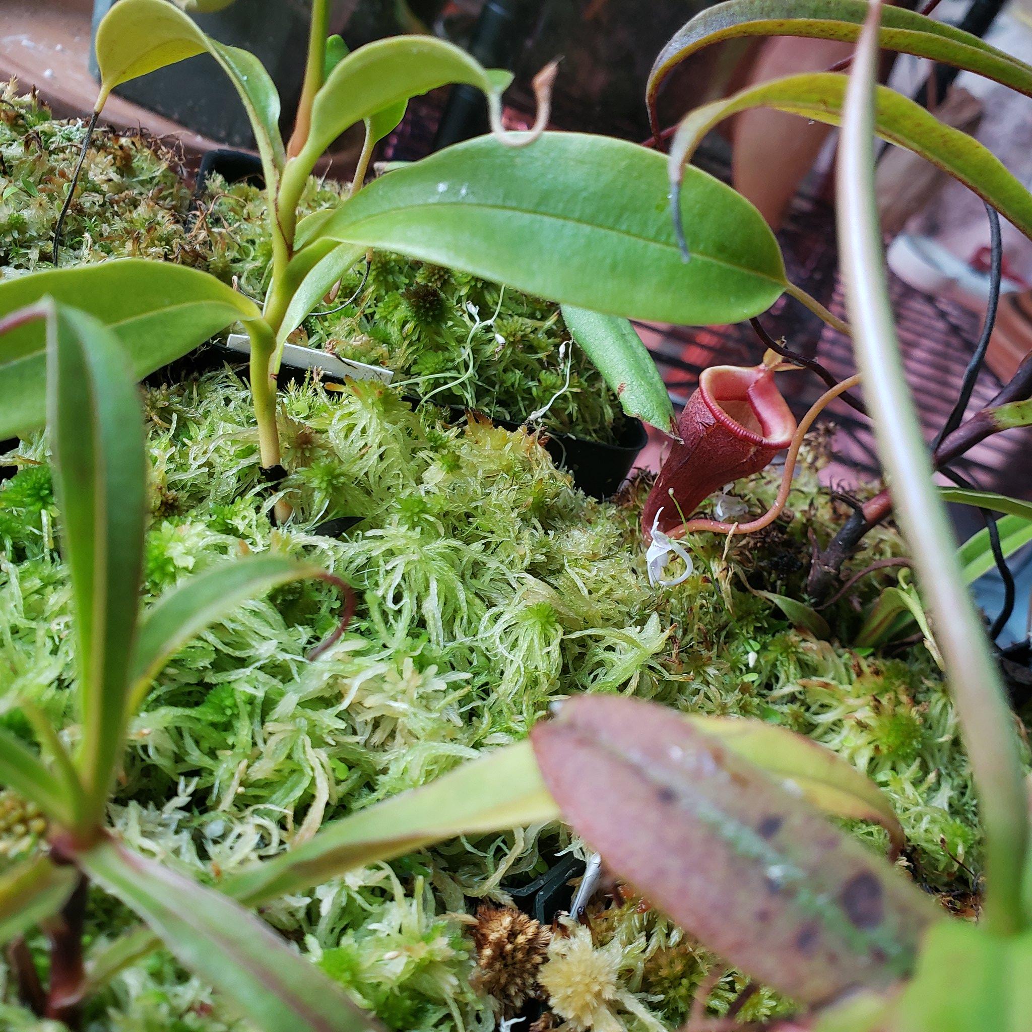 Nepenthes Jamban