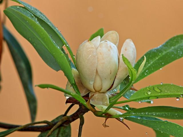 Magnolia blossom 20200314