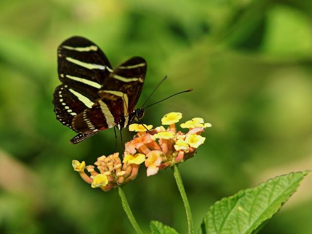 Zebra butterfly 02-20200314