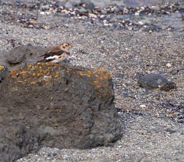 Snow bunting (Plectrophenax nivalis), North Berwick beach