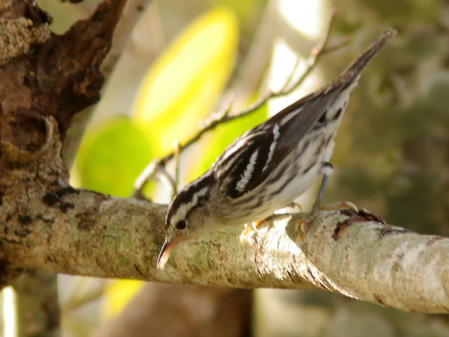 Black-and-White Warbler 2-20200314