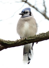 Relaxed Eastern Blue Jay