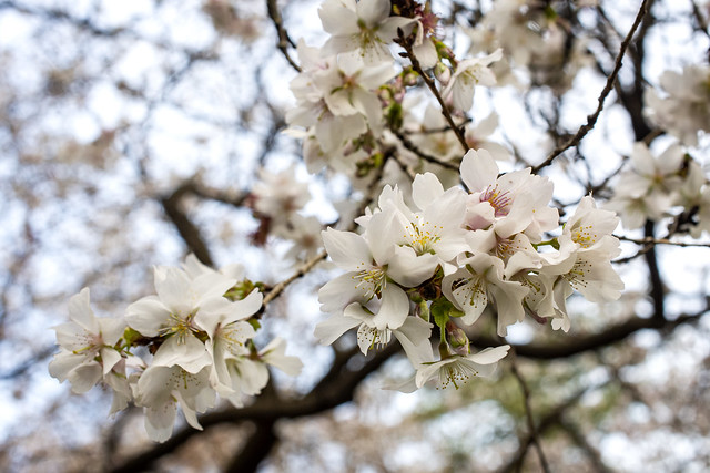 Everblooming Cherry