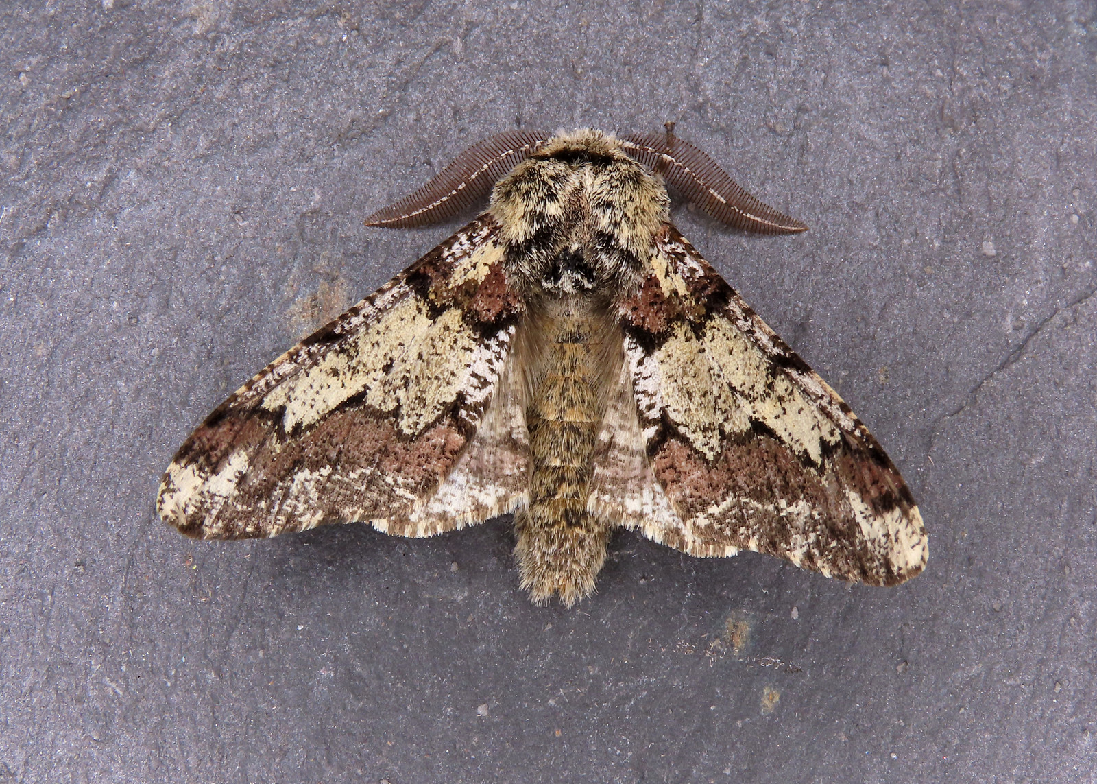 70.251 Oak Beauty - Biston strataria
