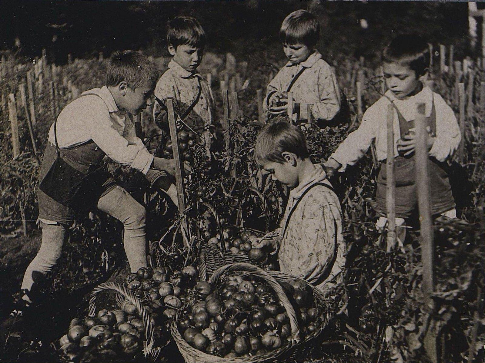 35. Воспитанники Детского дома на огороде собирают помидоры
