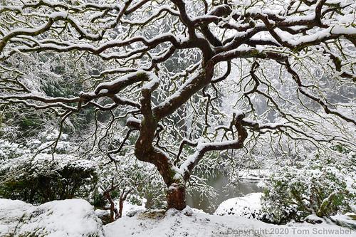 japanesemaple winter portlandjapanesegarden portland oregon usa garden maple tree white serene landscape branches moss trunk twisted branch acerpalmatum japanesegarden snow cold tomschwabel