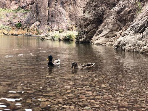 Nevada - Ducks enjoying the heat