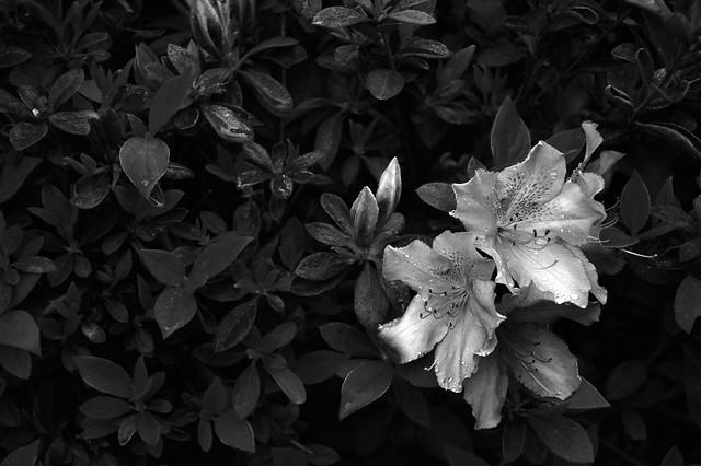 michaelmans flower