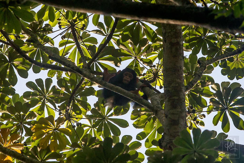 Kalinzu Forest chimpanzee tracking