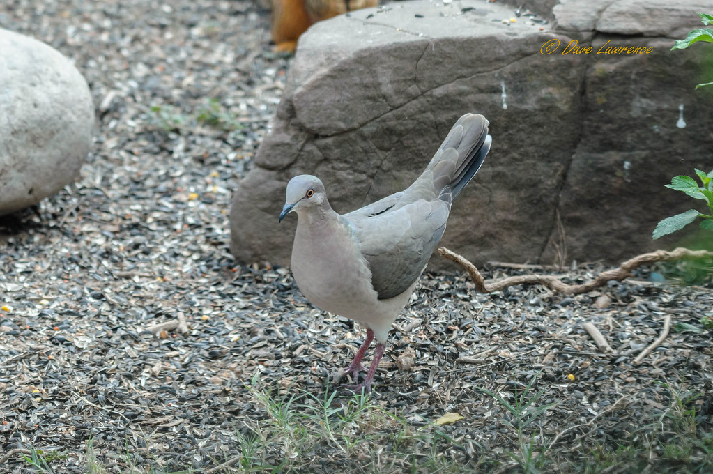 White-tipped Dove - DEL_0424-LRwm