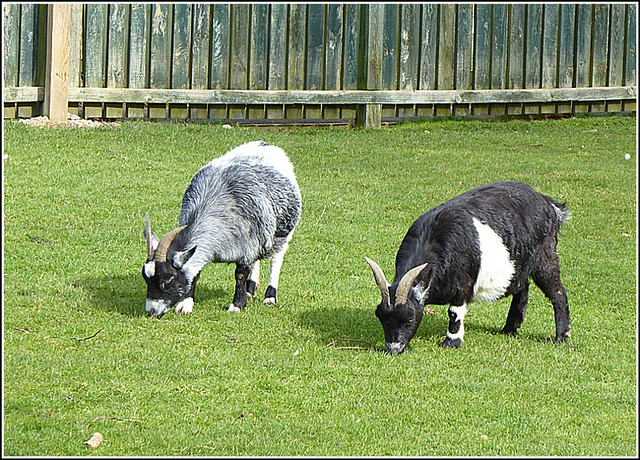 Two Goats Grazing ...
