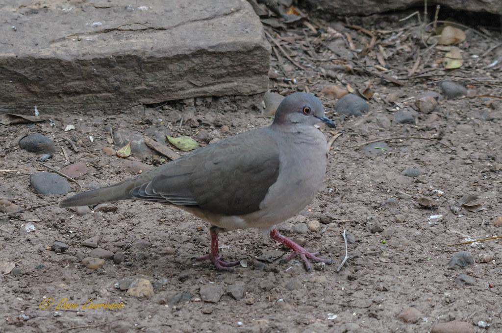 White-tipped Dove - DEL_0647-LRwm