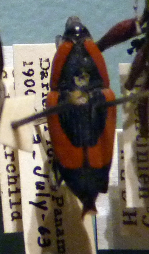Cactophagus circumdatus 49661210143_d25981a8d8_o