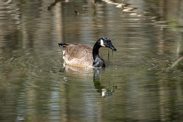 Canada Goose - Stumpy Lake  (44 of 49)