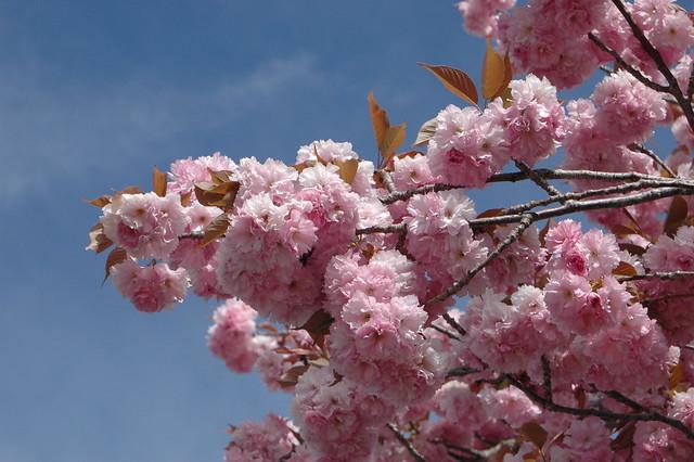 Prunus Serrulata Kazan (Cirerer del Jopó)