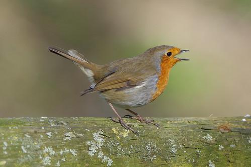 barnwellcountrypark erithacusrubecula northamptonshire bird nature robin wild wildlife woodland singing