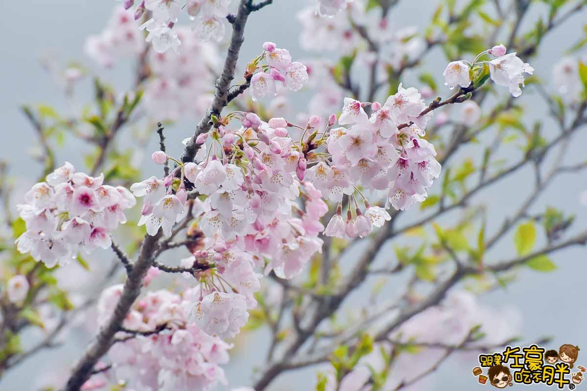 阿里山櫻花季 最新花況-44