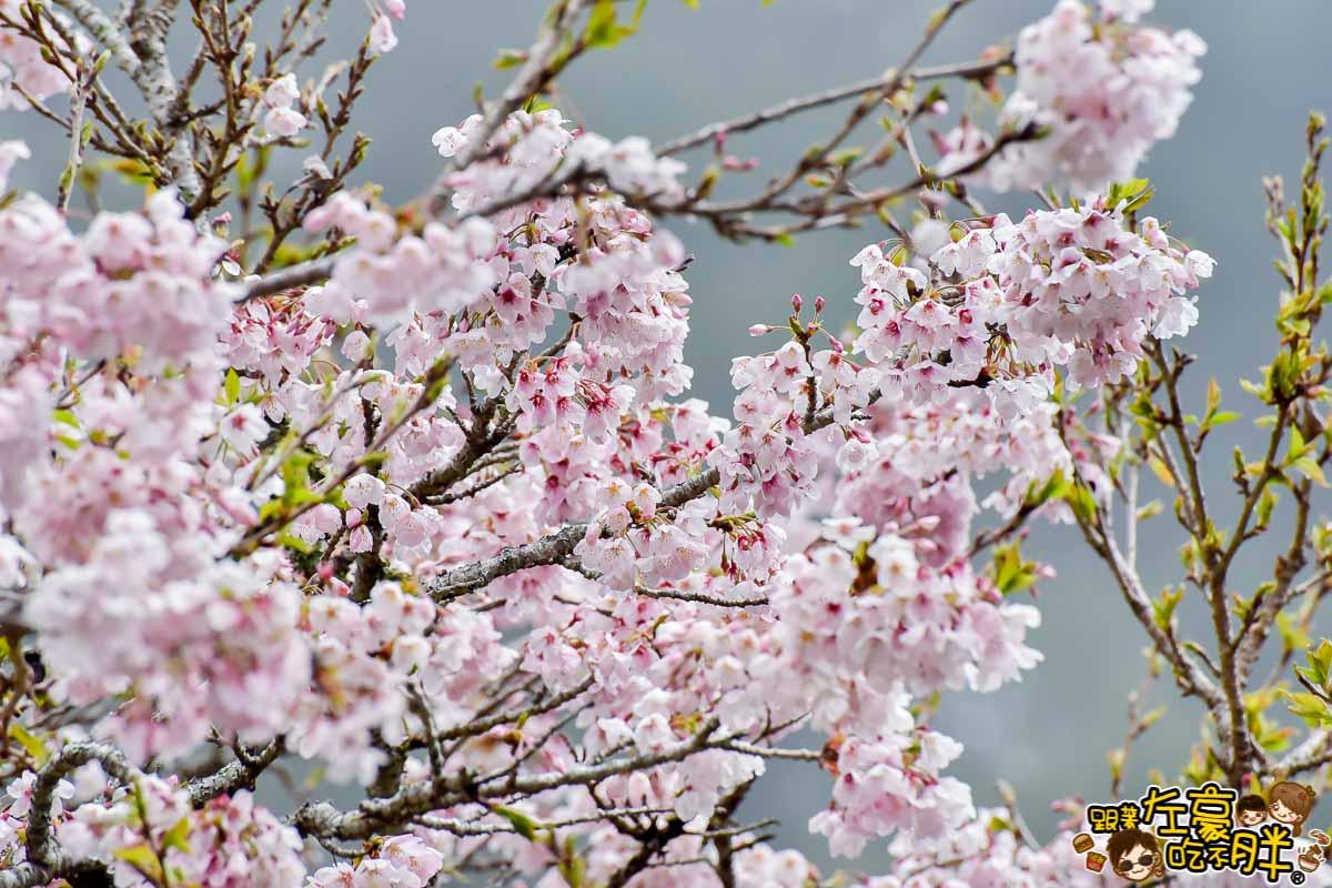 阿里山櫻花季 最新花況-42