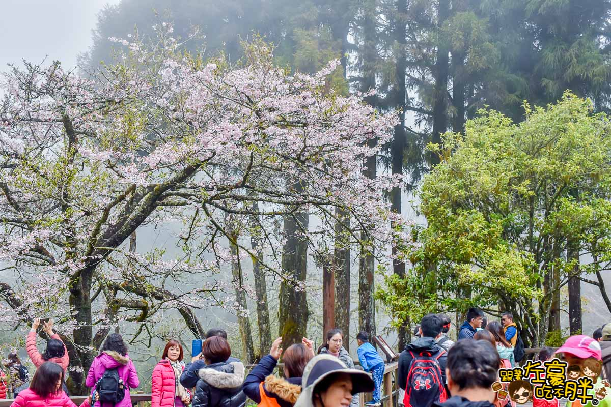 阿里山櫻花季 最新花況-40