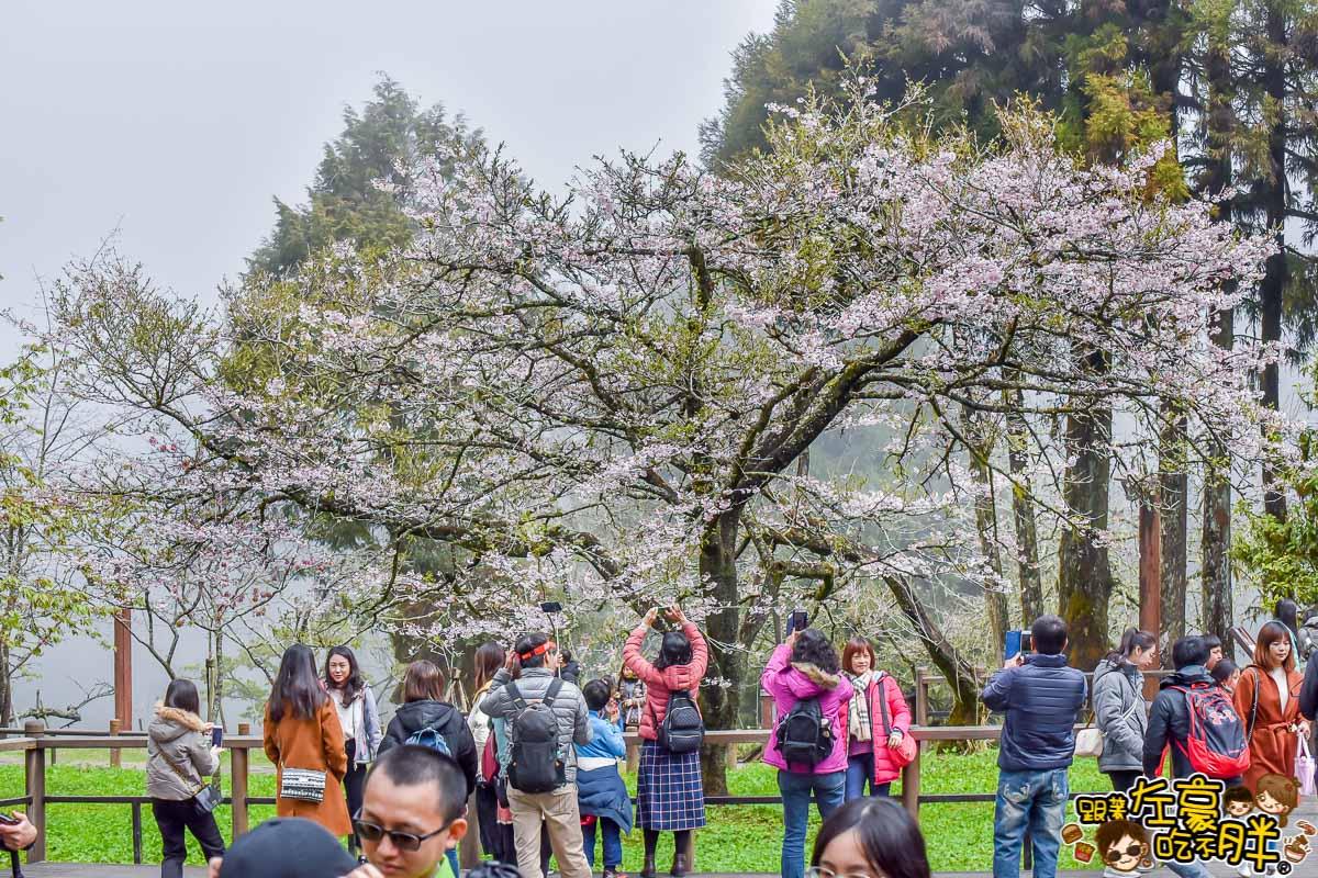 阿里山櫻花季 最新花況-39