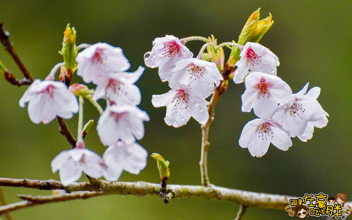 阿里山櫻花季 最新花況-12