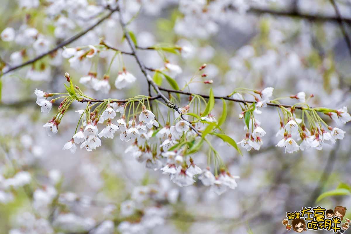阿里山櫻花季 最新花況-6