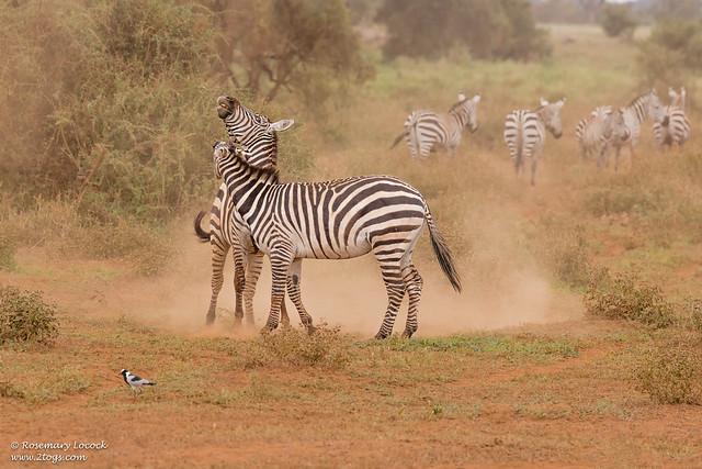 Grants Zebra - Equus quagga boehmi
