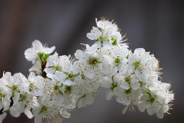 Flor de Ciruelo / Plum Tree Blossom III