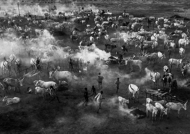 Aerial view of long horns cows in a Mundari tribe cattle camp full of smoke, Central Equatoria, Terekeka, South Sudan