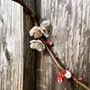Aprikosenblüten an Lärchenbohlen.