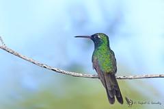 Cuban emerald - Émeraude de Ricord - Esmeralda zunzún - Chlorostilbon ricordii