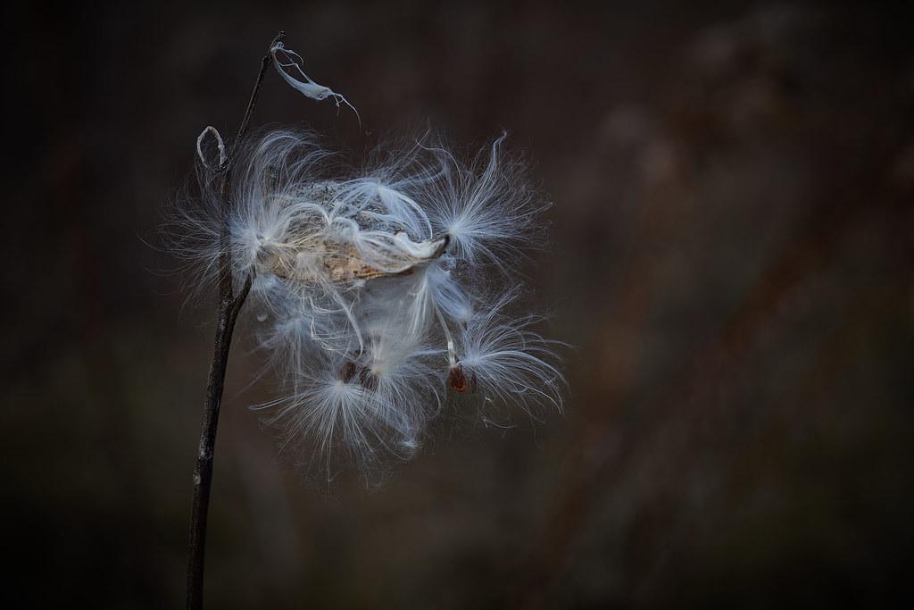 milkweed, in afternoon, 12-7-19 3