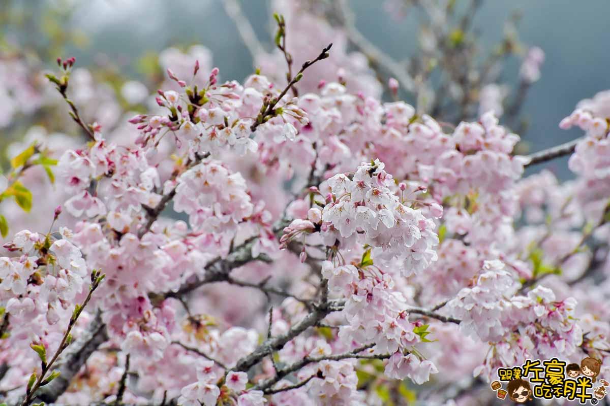 阿里山櫻花季 最新花況-43