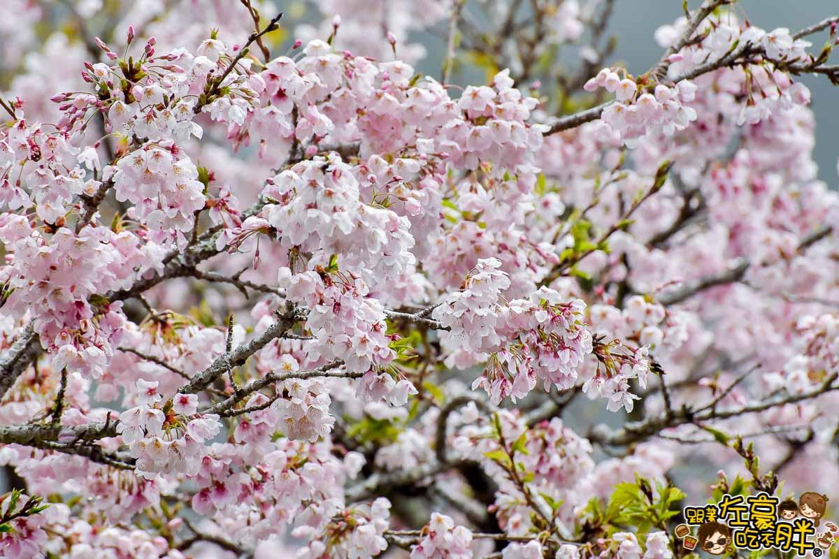 阿里山櫻花季 最新花況-41