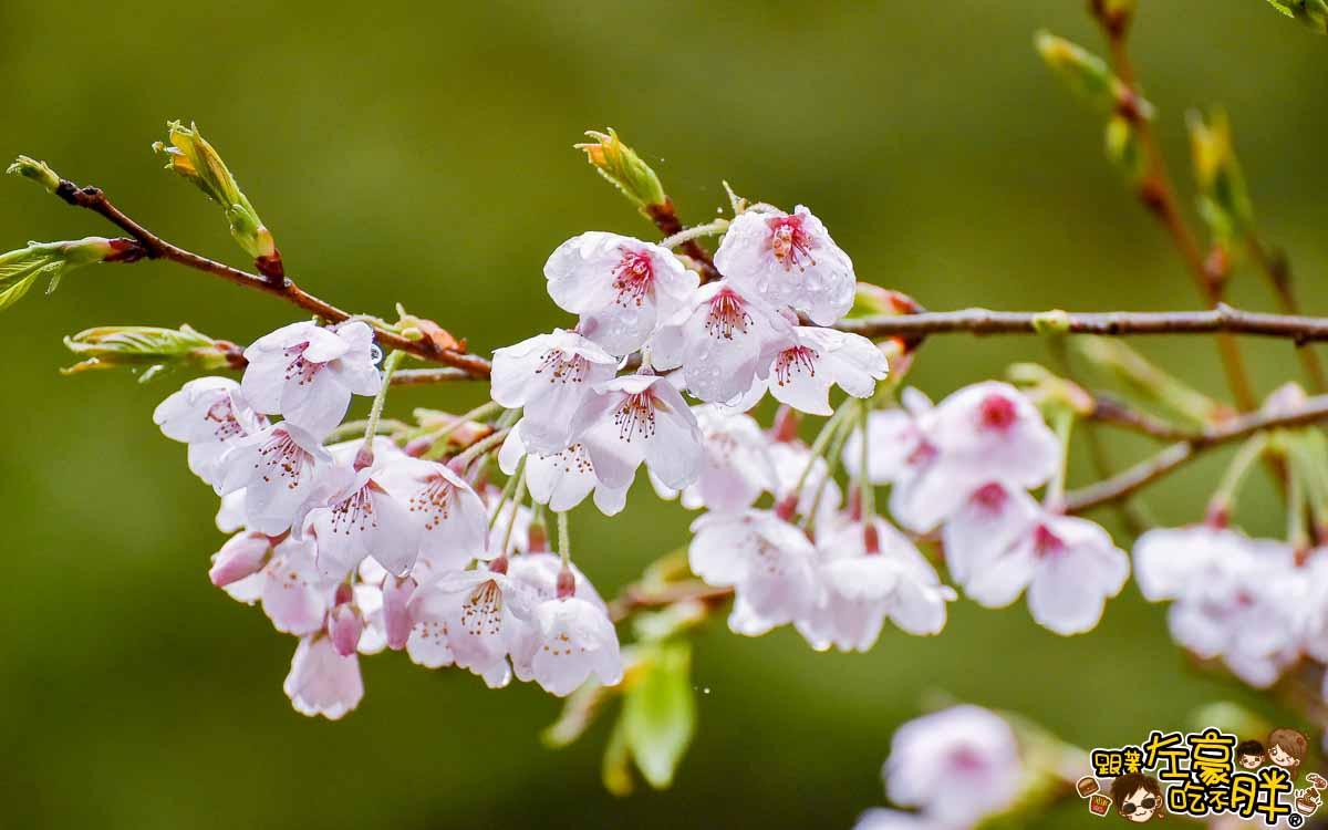 阿里山櫻花季 最新花況-11