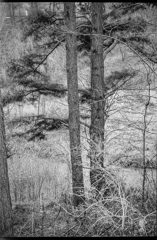 two conifer trees, abandoned landscape below Sam's, Asheville, NC, Goerz Box Tengor, Fomapan 200, Moersch Eco film developer, 3.12.20