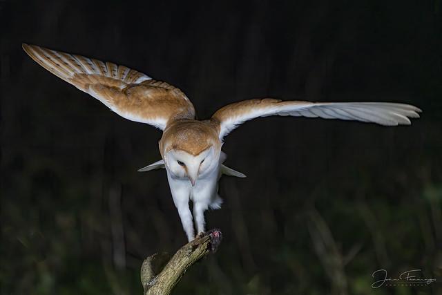 Barn Owl (m)