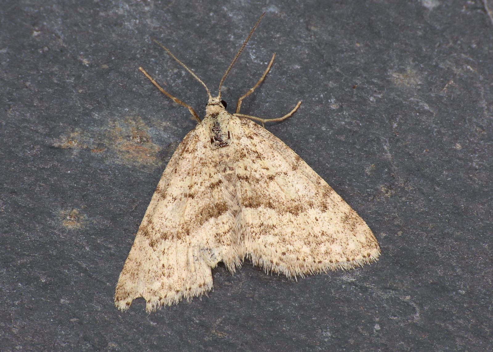 70.101 Mottled Grey - Colostygia multistrigaria