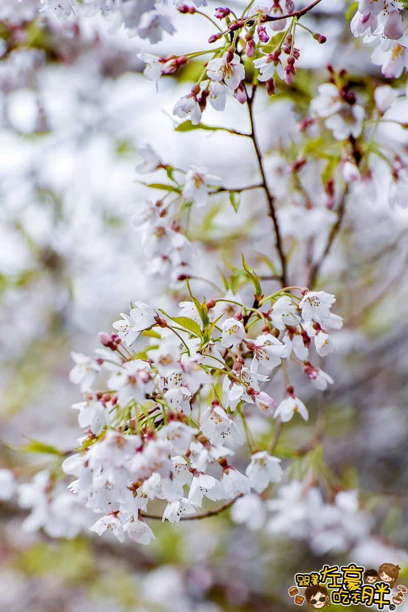 阿里山櫻花季 最新花況-31
