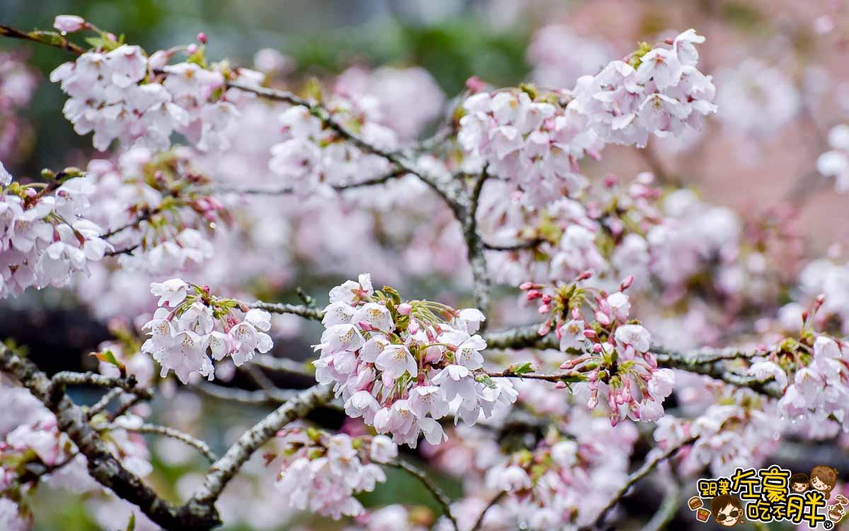 阿里山櫻花季 最新花況-19